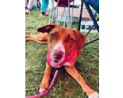 Adopt Lindsay a Hound (Unknown Type) / Mixed dog in Germantown, OH (31248930)