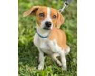 Adopt Alberto a Brown/Chocolate Beagle / Feist / Mixed dog in Chester Springs