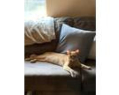 Adopt Poblo a Orange or Red Tabby American Shorthair / Mixed (short coat) cat in