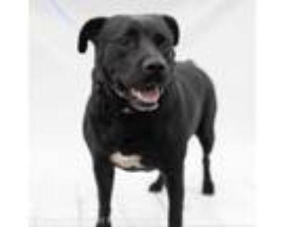 Adopt Ms.Baby- Calm - adoption fee reduced a Labrador Retriever, Mixed Breed