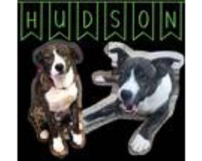 Adopt Hudson a Brindle Boxer / Australian Shepherd / Mixed dog in El Dorado