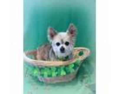 Adopt Rusty a Tan/Yellow/Fawn - with White Pomeranian / Mixed dog in San Mateo
