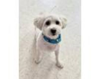 Adopt Taquito a Poodle, Mixed Breed
