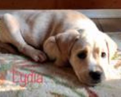 Adopt Lydia a Labrador Retriever, Hound