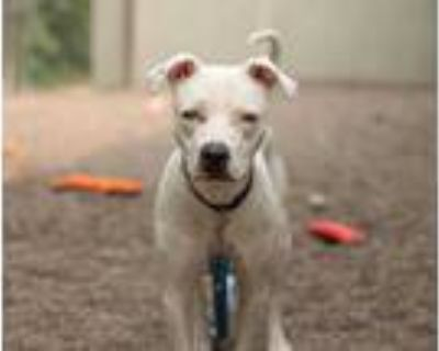 Adopt Jupiter a White American Pit Bull Terrier / Mixed dog in Coon Rapids