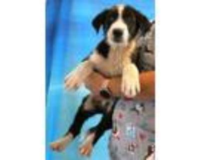 Adopt 159658 a Black Labrador Retriever / Border Collie / Mixed dog in