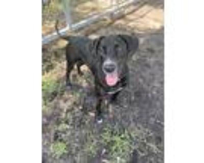 Sassy, Labrador Retriever For Adoption In Newport, North Carolina