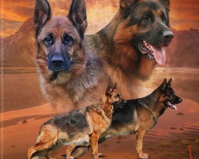 World Class pups from VA1 Xentos von der Wilhelmswarte Ipo3 Hd/Ed kkl