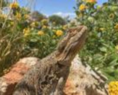Adopt Finnie a Lizard reptile, amphibian, and/or fish in Las Vegas