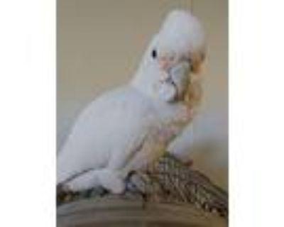 Hootie Aka Hodor, Cockatoo For Adoption In Elizabeth, Colorado