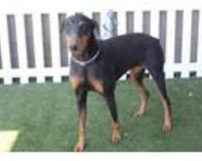 Adopt A553157 a Doberman Pinscher