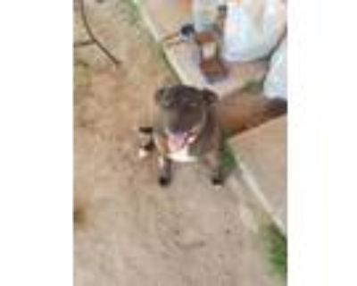 Adopt Jane Marie a Black - with White American Pit Bull Terrier / Labrador