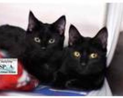 Adopt Toast a All Black Domestic Shorthair / Domestic Shorthair / Mixed cat in