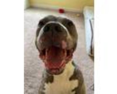 Adopt Buddy a Pit Bull Terrier