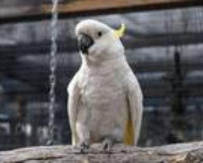 Adopt Obie a Cockatoo