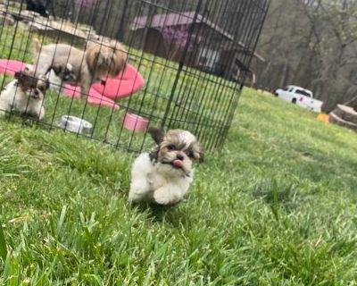 Male/Females Shih Tzu puppies for sale