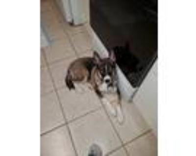 Adopt Cozmo a Brown/Chocolate - with White Husky / Labrador Retriever / Mixed
