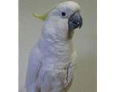Obie, Cockatoo For Adoption In Elizabeth, Colorado