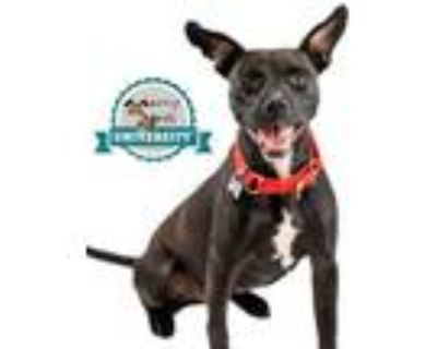 Adopt Betty Boop a German Shepherd Dog, Labrador Retriever