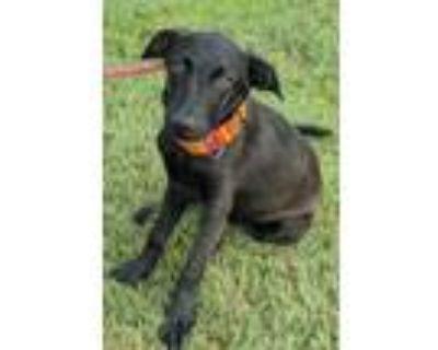 Adopt Wilhelmina a Black Labrador Retriever / Mixed dog in Clay Center