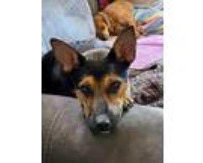 Adopt BROOKE a German Shepherd Dog, Miniature Pinscher