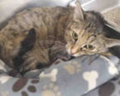 Adopt GYPSY a Brown Tabby Domestic Shorthair / Mixed (short coat) cat in