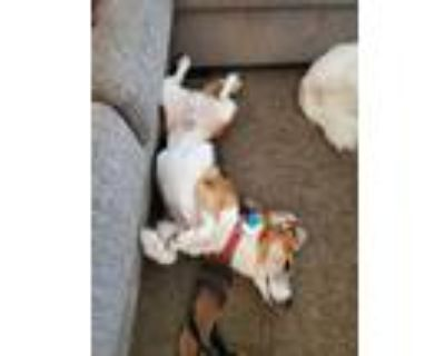 Adopt Pippen a Tricolor (Tan/Brown & Black & White) Beagle / Mixed dog in Los