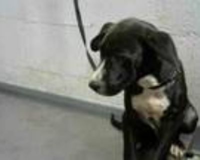 Adopt ODIE a Greyhound, Mixed Breed