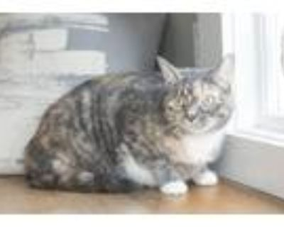 Adopt Nala a Calico or Dilute Calico Domestic Shorthair (short coat) cat in