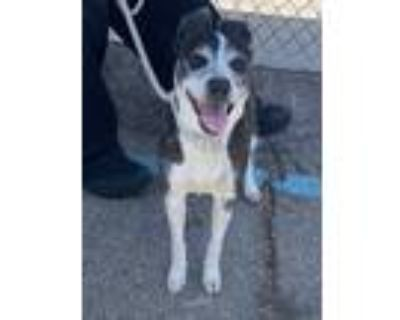 Adopt Olive a Gray/Silver/Salt & Pepper - with White Italian Greyhound / Mixed