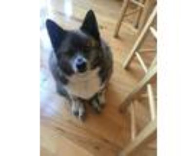 Adopt Bubbles a Black - with White Husky / Pomeranian / Mixed dog in Eagan