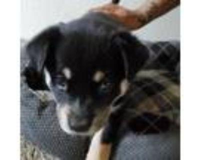 Adopt Asata a Black Husky / Rottweiler / Mixed dog in Colorado Springs