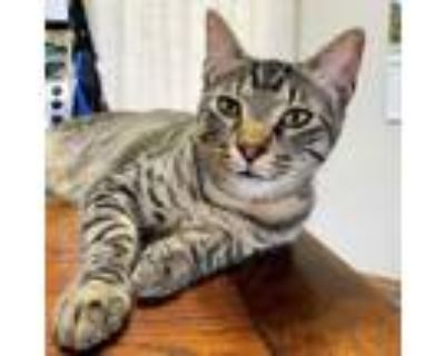 Adopt Will Turner a Domestic Short Hair