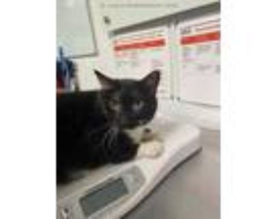 Adopt AUGGY a Tortoiseshell Domestic Shorthair / Mixed (short coat) cat in