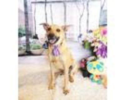 Adopt Ikea a Brown/Chocolate Labrador Retriever / Mixed dog in Castro Valley