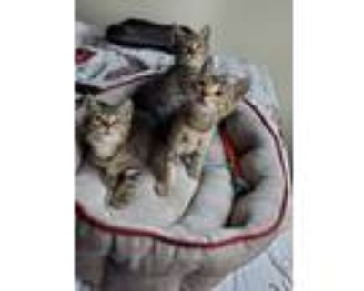 Adopt Kittens a Brown or Chocolate (Mostly) Domestic Shorthair / Mixed (short