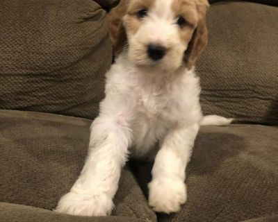 Teddy Goldendoodle Puppy