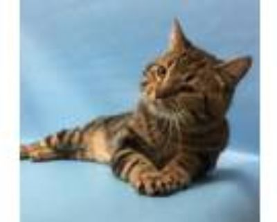Adopt Montreux a Domestic Short Hair