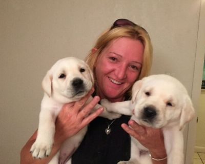 Labrador Puppies all Colors 600 to 1400