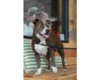 Adopt Duncan a Terrier, American Bully