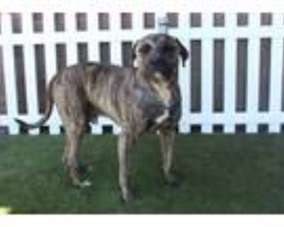 Adopt PRINCETON a Brindle American Pit Bull Terrier / Mixed dog in Modesto