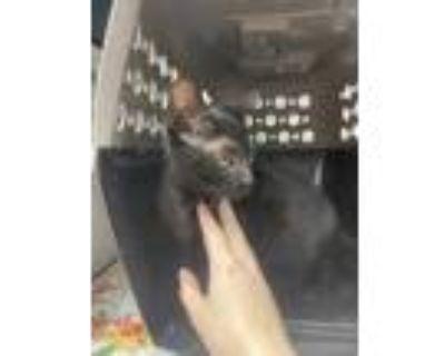 Adopt 48331542 a All Black Domestic Shorthair / Domestic Shorthair / Mixed cat