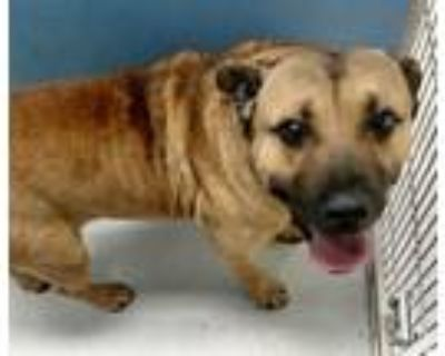 Adopt Henry Higgins 45201 a Tan/Yellow/Fawn - with Black Bullmastiff / Mixed dog
