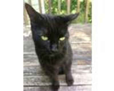 Adopt Betty a Black (Mostly) American Shorthair / Mixed (short coat) cat in