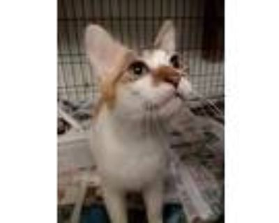 Adopt Heidi a Calico or Dilute Calico Domestic Shorthair (short coat) cat in