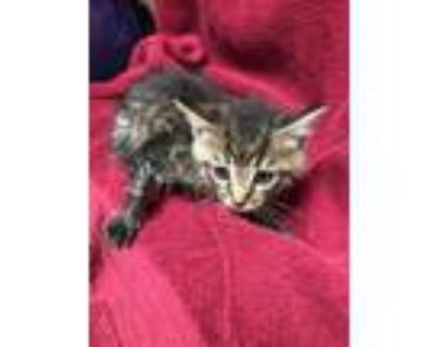 Adopt Prince of Darkness a Domestic Short Hair