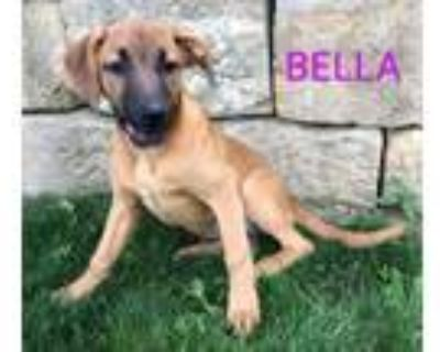 Adopt Bella a German Shepherd Dog, Boxer