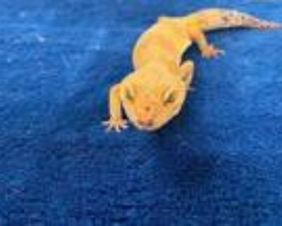 Adopt Kitty a Gecko / Mixed reptile, amphibian, and/or fish in Boulder