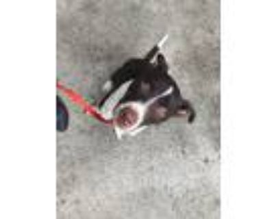 Adopt Achilles a Brown/Chocolate - with White Border Collie / Australian