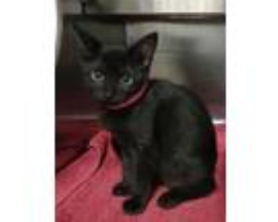 Adopt Ava a All Black American Shorthair / Domestic Shorthair / Mixed cat in